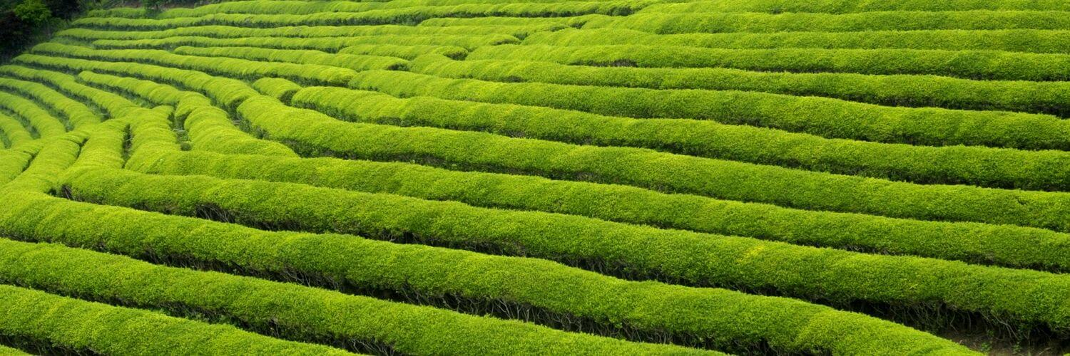 Green-Tea-in-Japanese-Culture