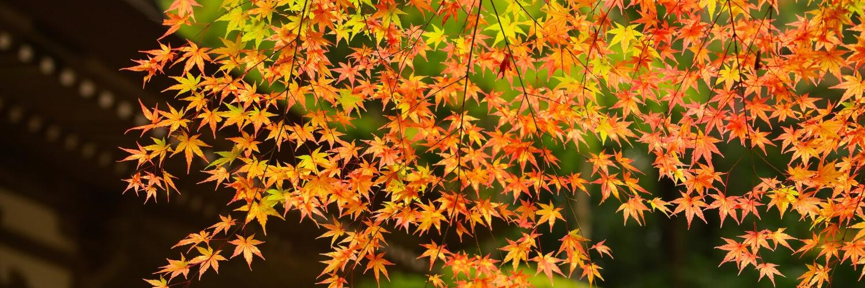 Japanese Maple Leaf Momiji Tempura