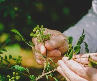 man holding sansho pepper plants