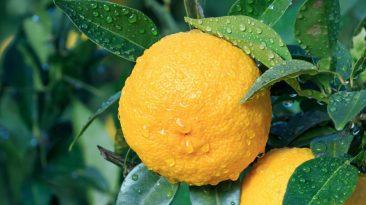 Yuzu fruits on tree