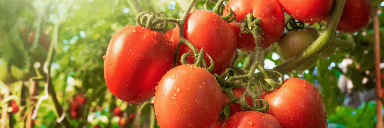 august tomato corn