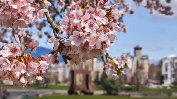 spring travel canada cherry blossoms